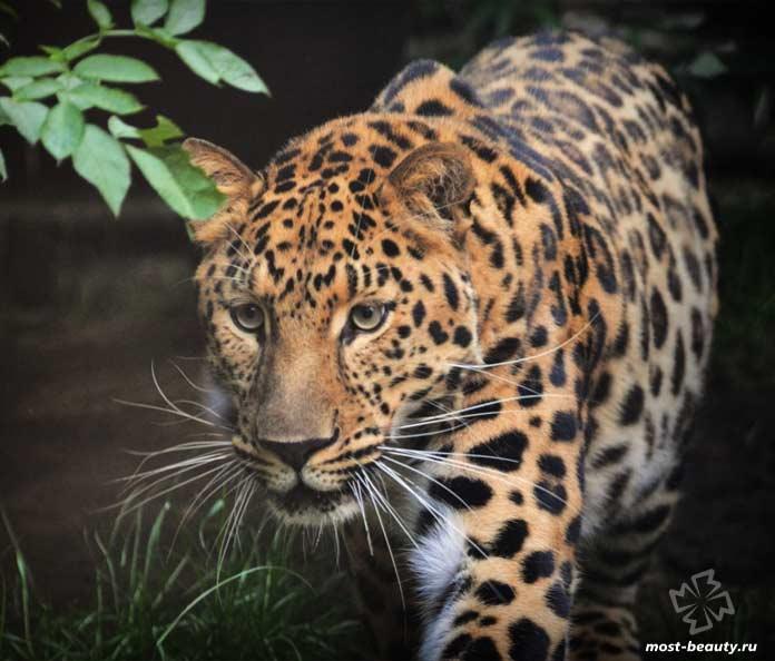Яванский леопард. CC0