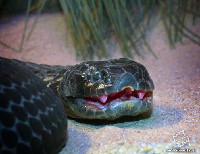 Тигровая змея острова Чаппель