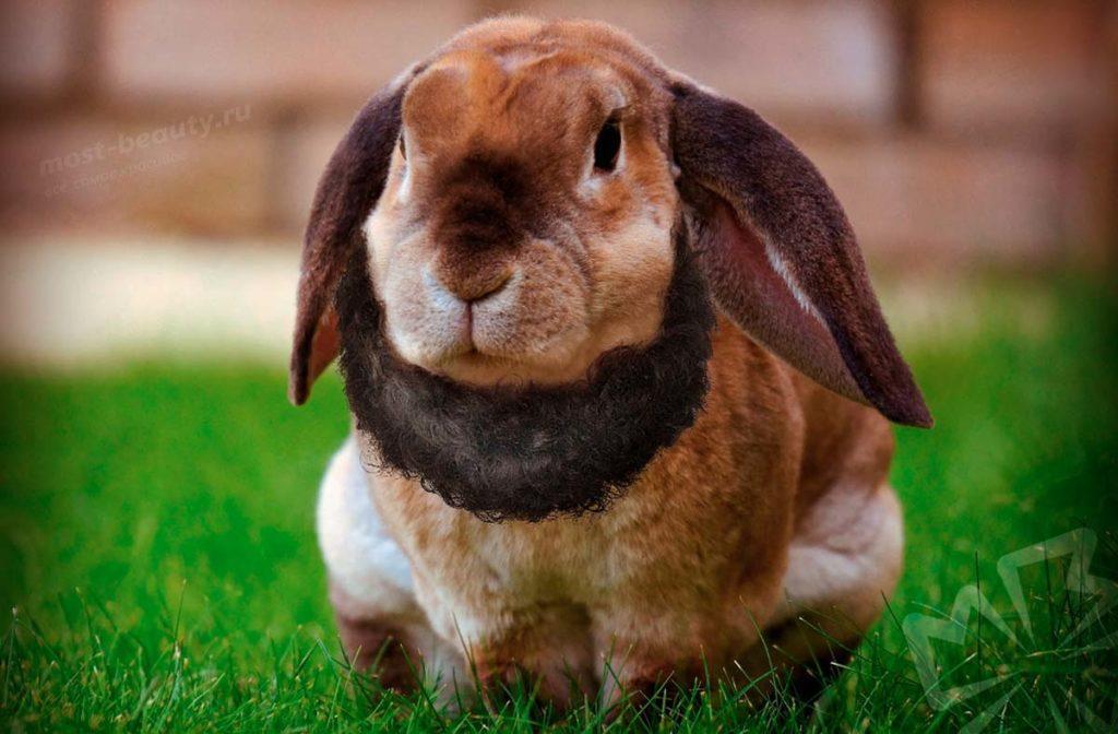 Кролик с бородой. CC0