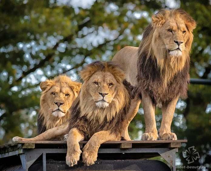 Прайд львов. CC0