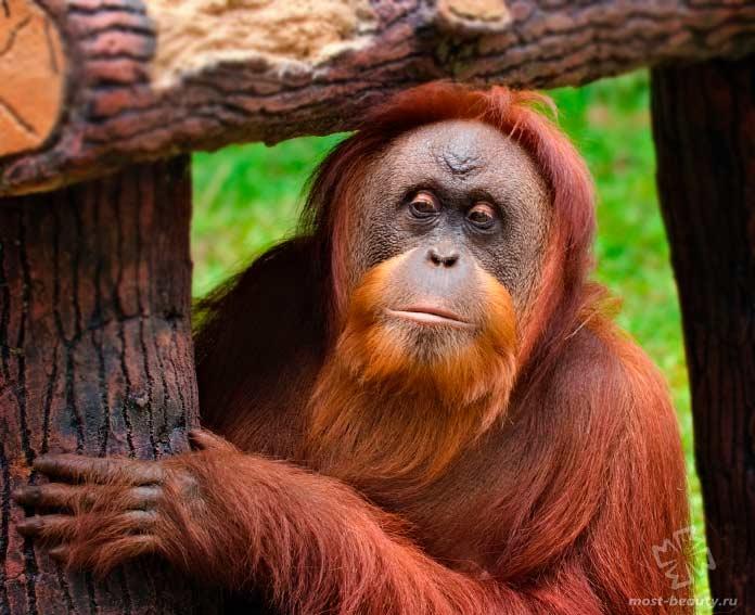Орангутан. CC0