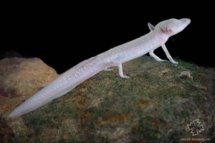 Техасская слепая саламандра. CC0