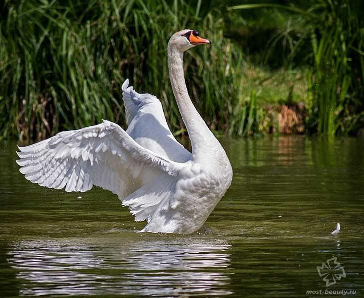 Лебедь-шипун. CC0