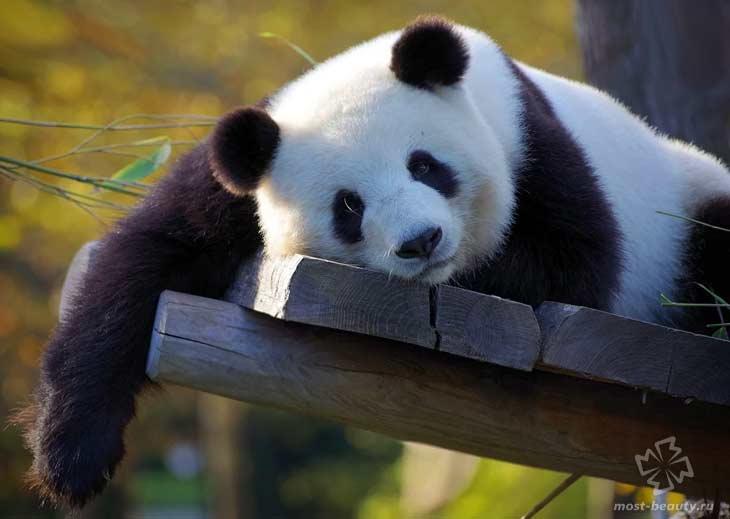 Панда. CC0