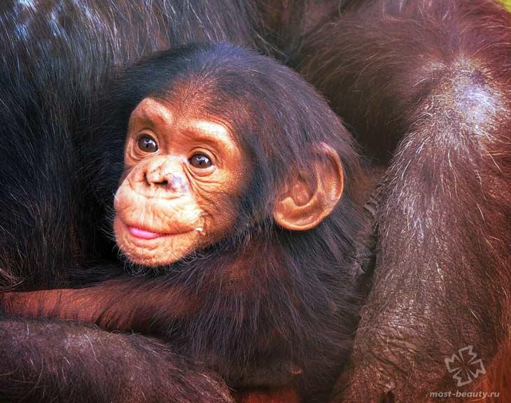 Шимпанзе. CC0