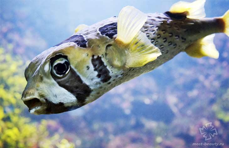 Рыба фугу. CC0