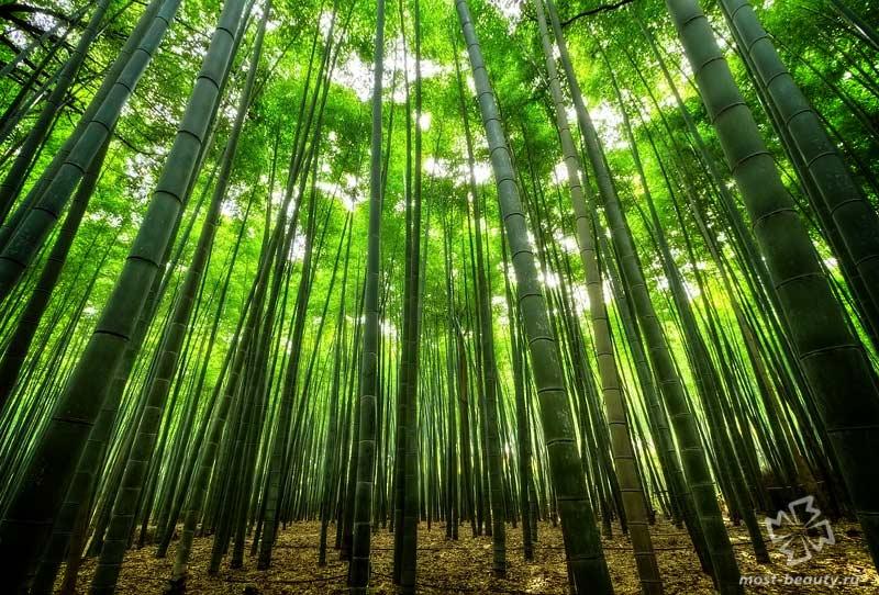 Бамбуковый лес Сагано. CC0