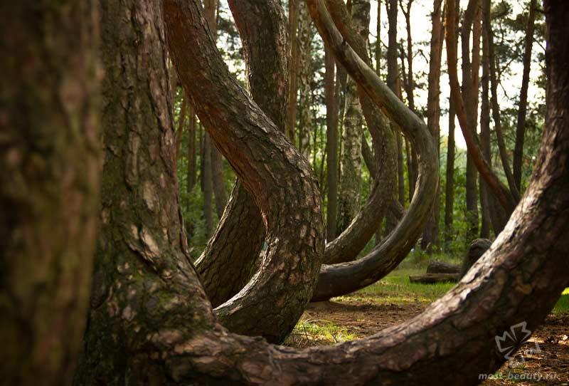 Кривой лес. CC0
