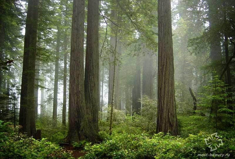Красивые леса США: Национальный парк Редвуд