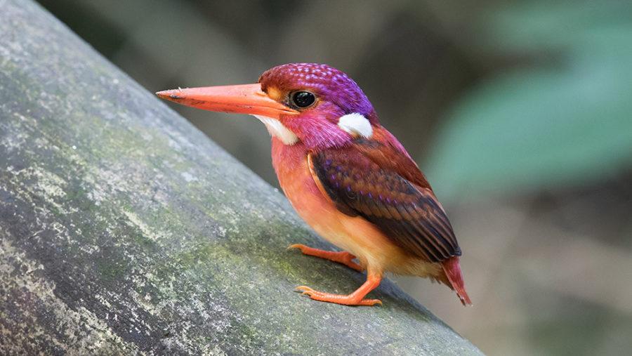 Филиппинский карликовый зимородок