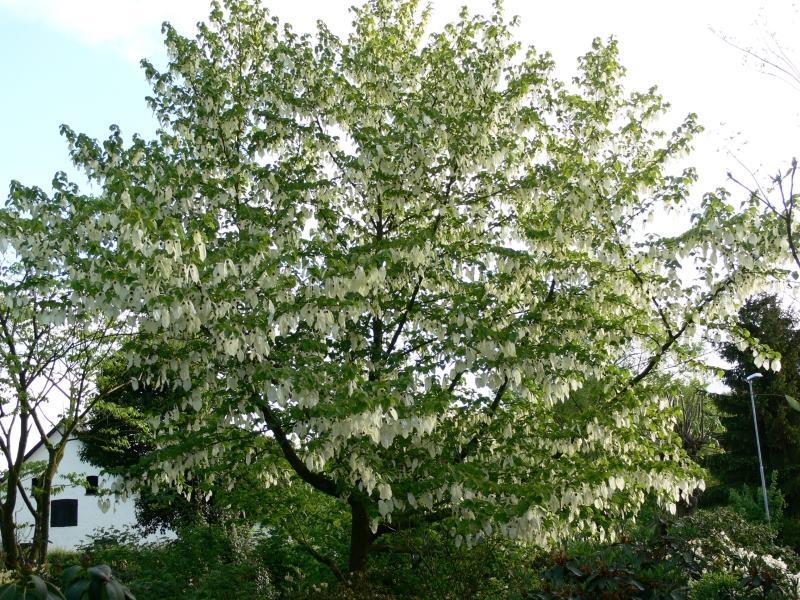 Платочковое дерево