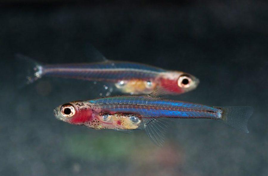 Рыбка Paedocypris progenetica
