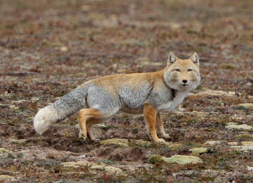 Тибетская лиса