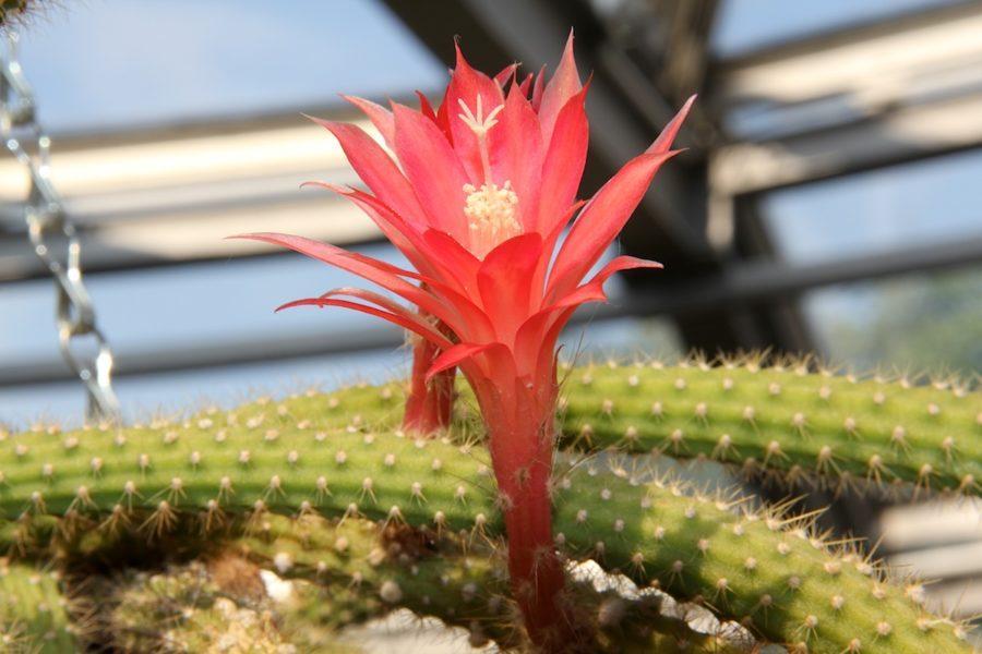 Disocactus ramulosa